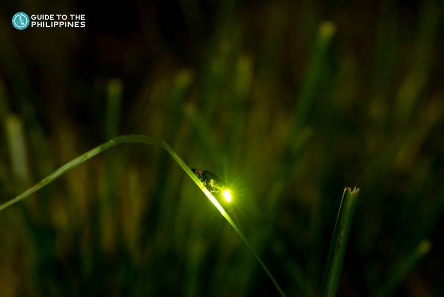 Close up shot of a firefly