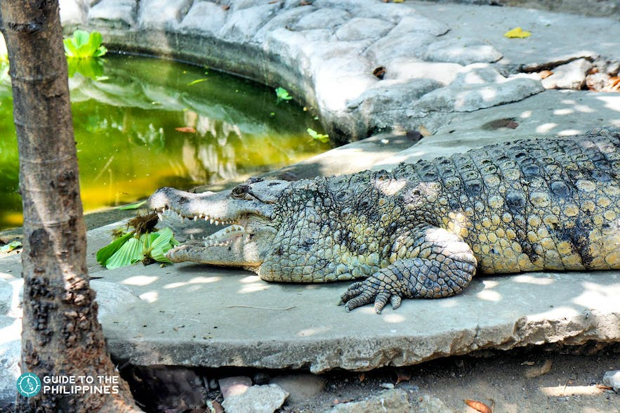 Resting crocodile at the Palawan Rescue and Wildlife Conservation Centre in Puerto Princesa