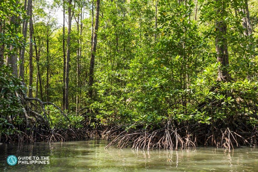 Lush mangrove forests in Puerto Princesa, Palawan