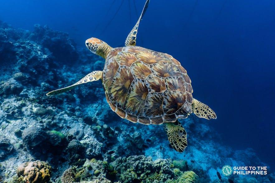 A sea turtle swimming under the blue sea