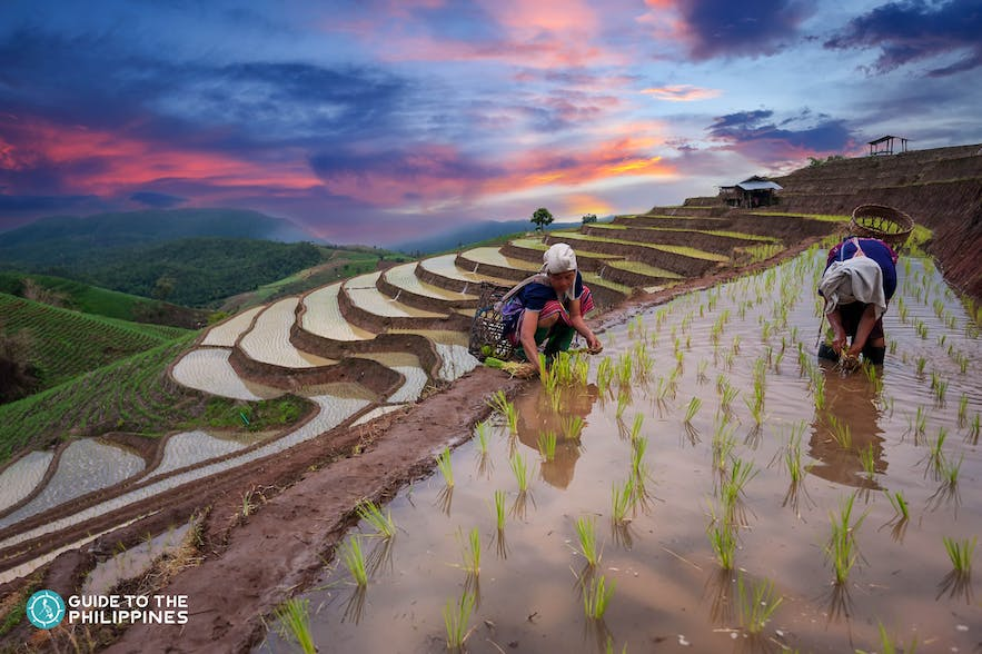 Ifugaos planting rice at the Banaue Rice Terraces