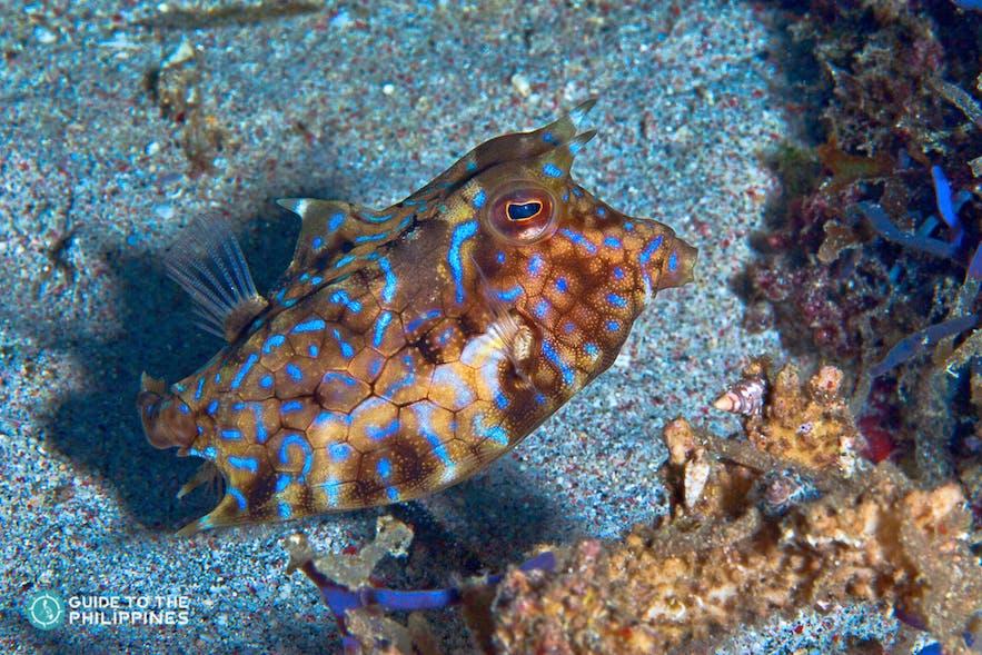 Cowfish found in the Puerto Galera marine life