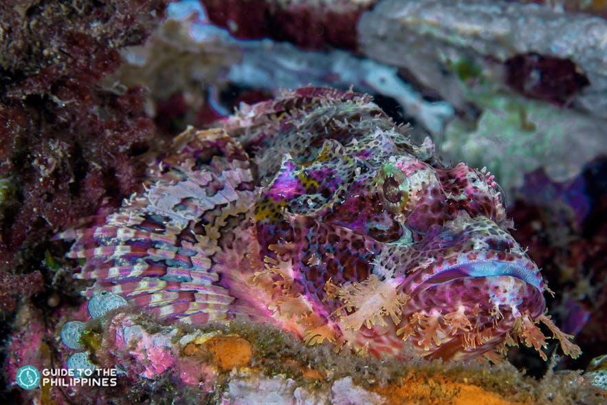 Scorpion fish found in rich marine life of Puerto Galera