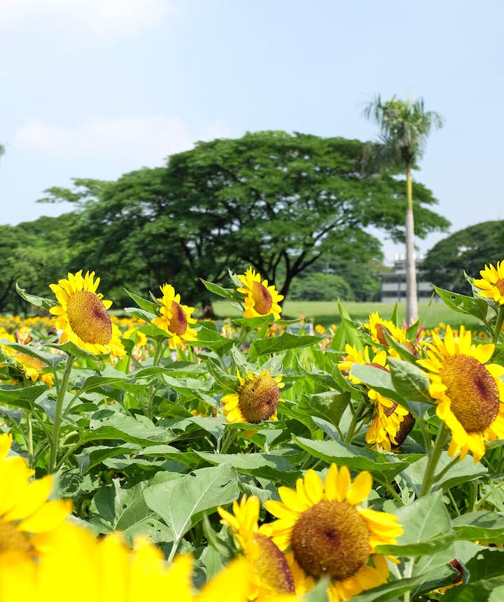Sunflowers at the University Area in UP Diliman