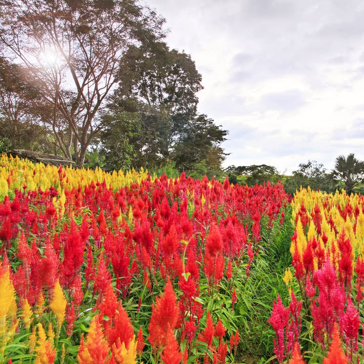 Colorful flowers in Sirao Flower Farm
