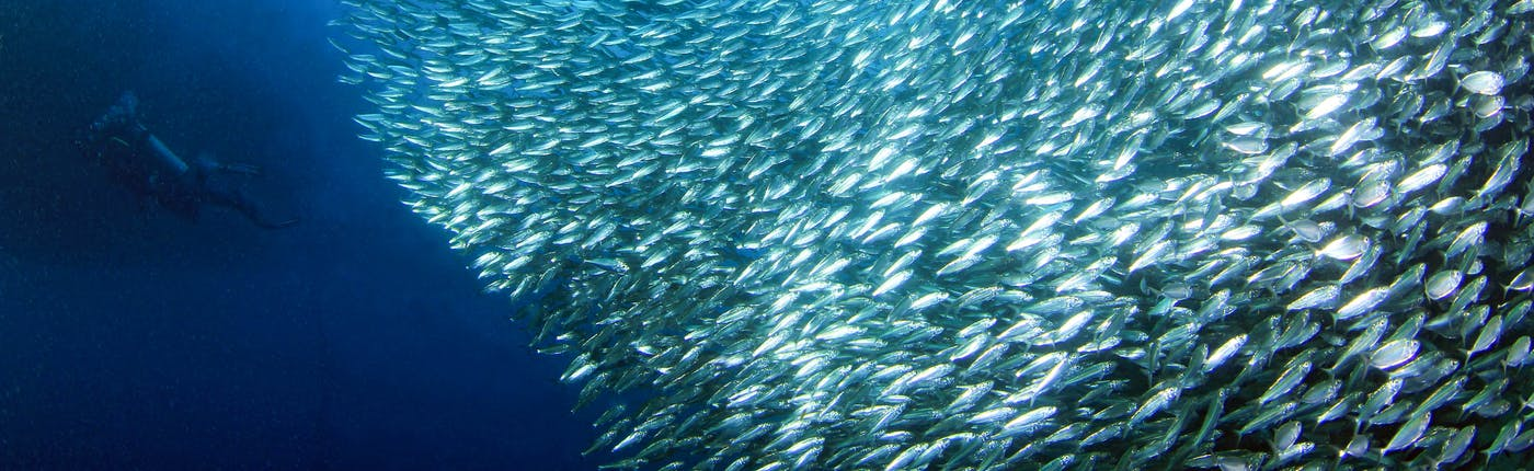 Find millions of sardines swimming in Moalboal, Cebu