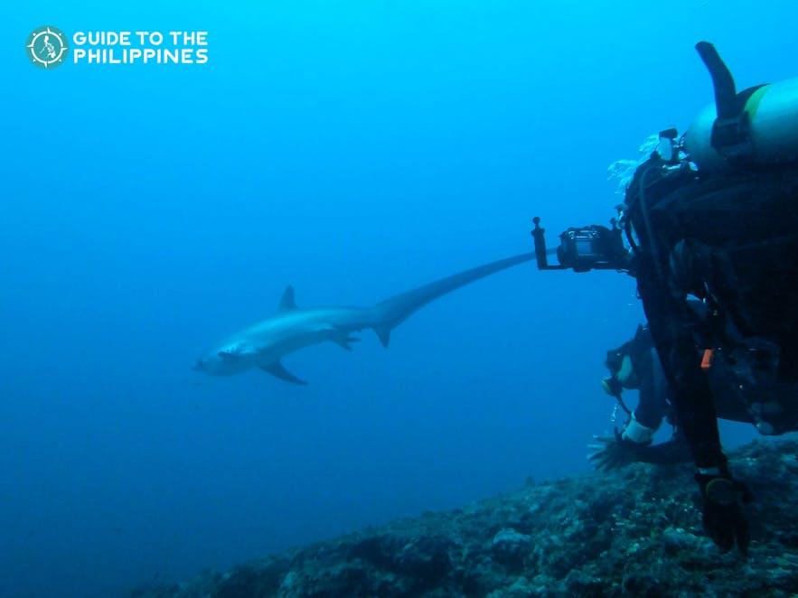 Divers spotted a thresher shark in Malapascua, Cebu