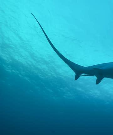 Thresher shark in Malapascua Island, Cebu