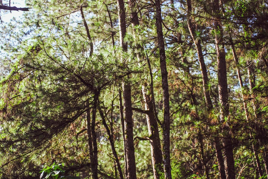 Pine trees in Baguio City