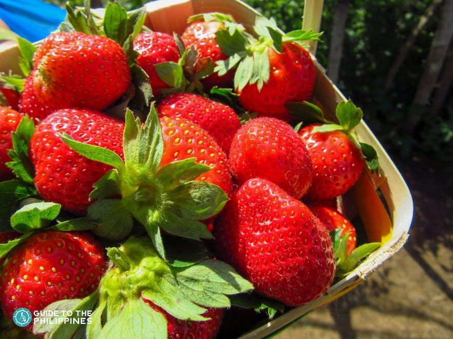 Freshly picked strawberries at Strawberry Farm in La Trinidad, Benguet
