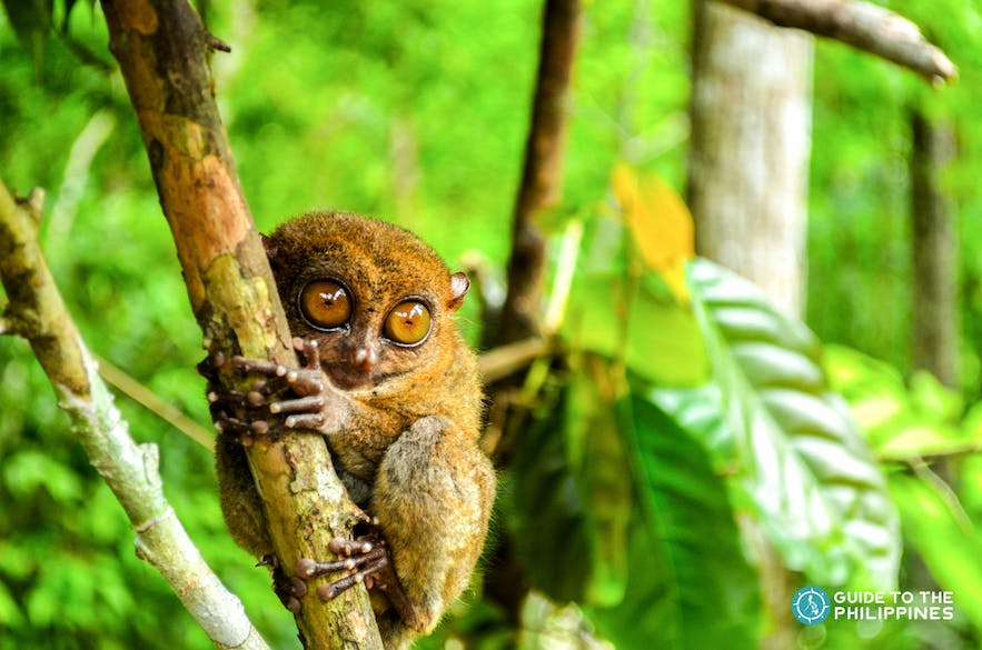 Philippine tarsiers are the smallest primate in the world