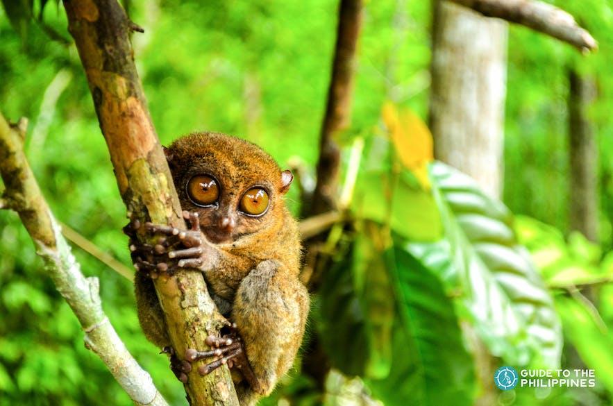 Philippine tarsiers are the smallest primate in the world