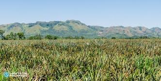 Del Monte Plantation