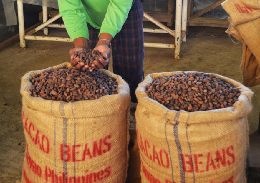 Cacao beans prodeuced in Davao
