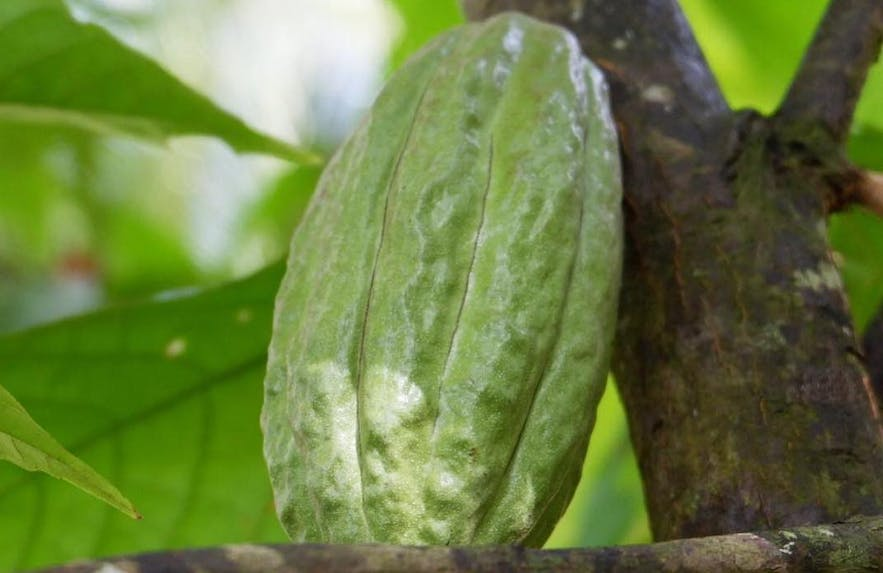 Cacao tree in Bohol