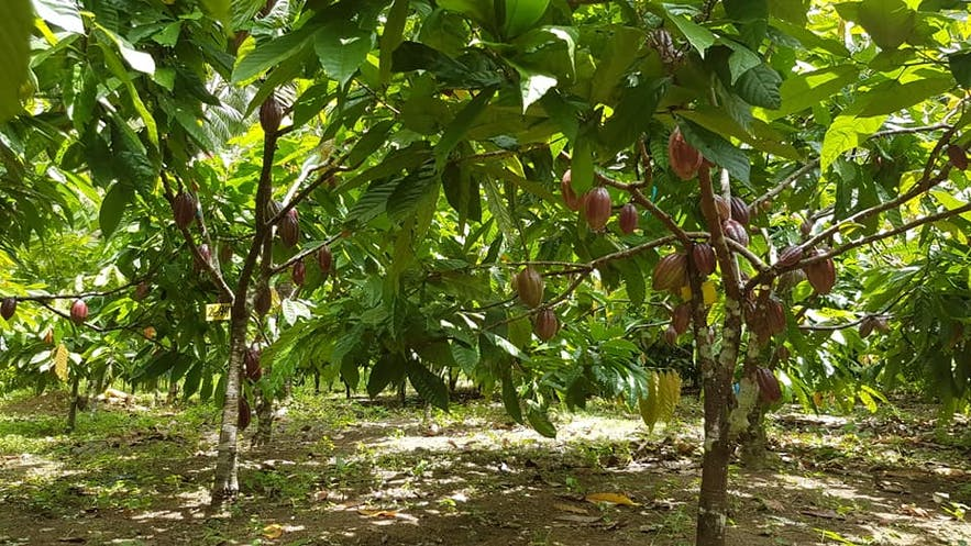Cacao tree in Alindanaw Farms Cacao
