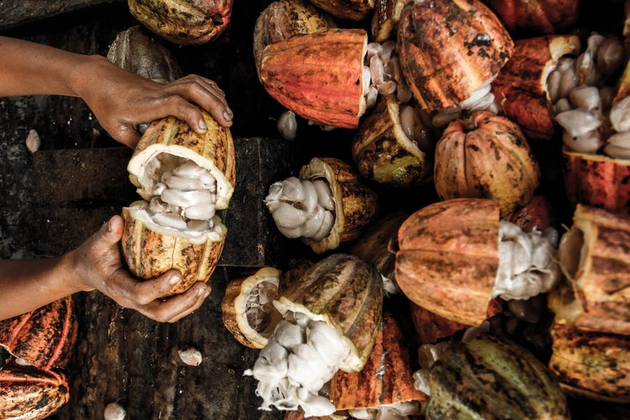 Cacao from Malagos Garden in Davao