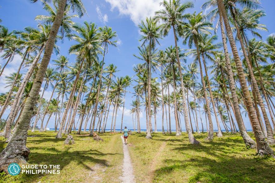 Coconut trees of Siargao, Philippines