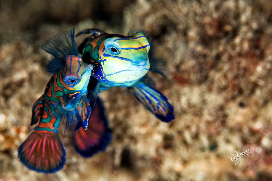 Mandarin Fish at Lighthouse Dive Sige