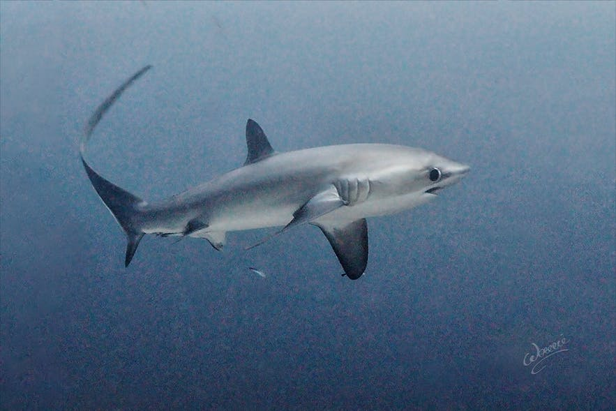 Thresher shark in Monad Shoal