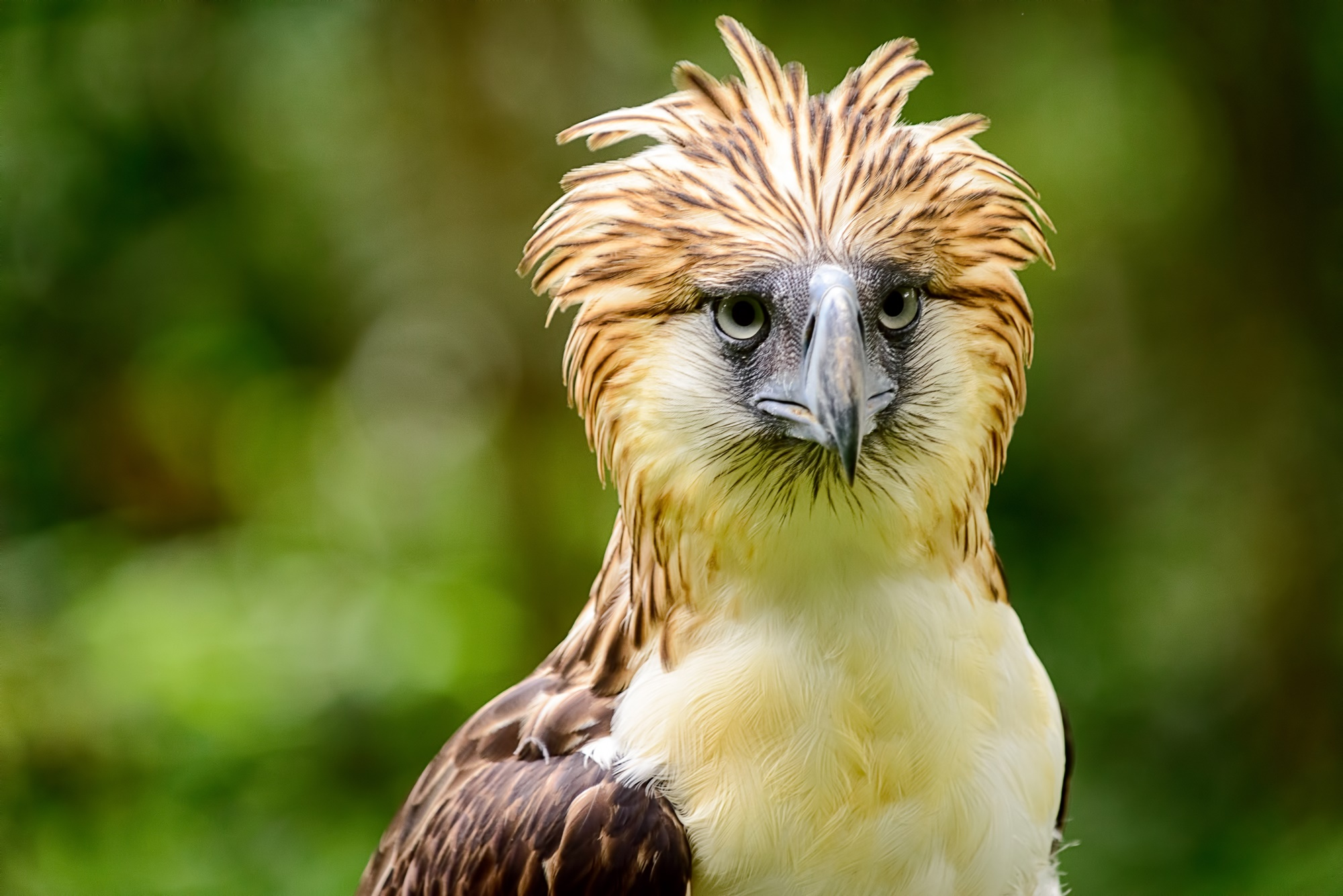 The Philippine Eagle can be seen at the Philippine Eagle Foundation