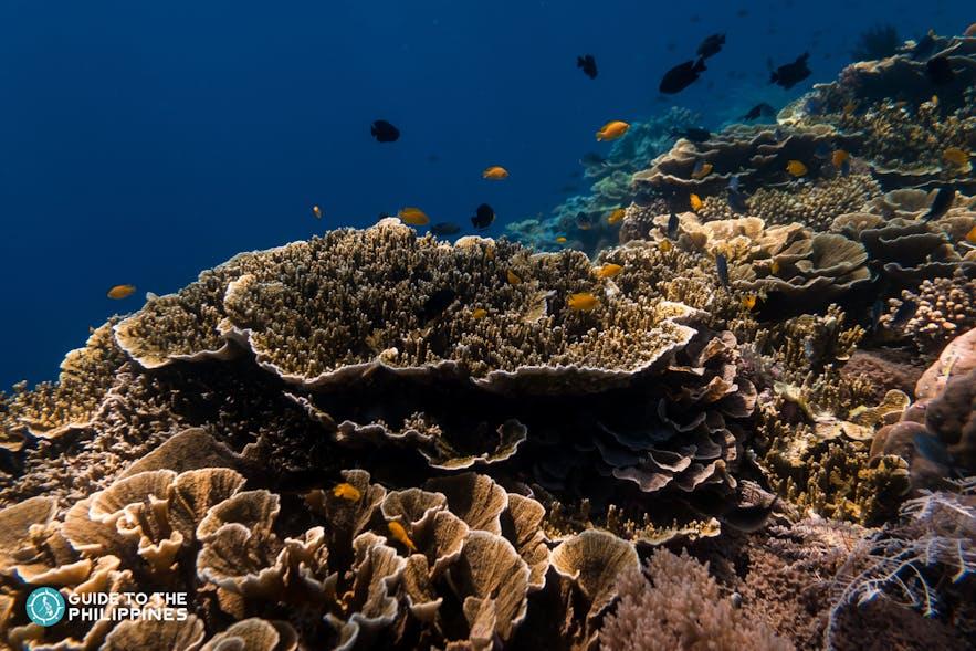 Black Forest diving spot in Balicasag