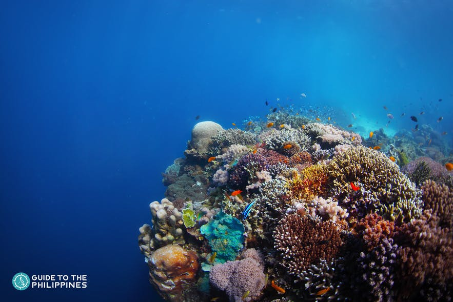 Coral reefs in a diving spot in Balicasag Island