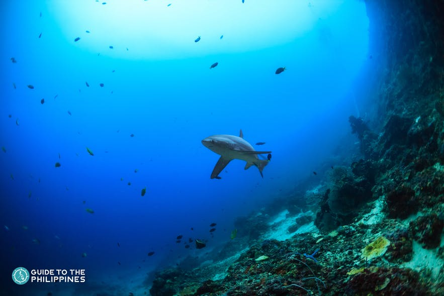 Thresher shark in a diving spot in Malapascua