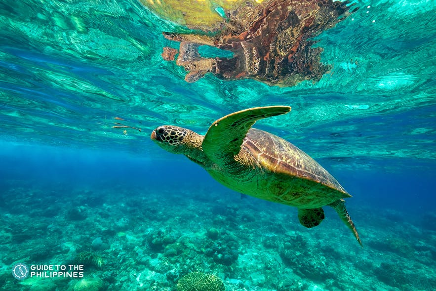 Sea turtle in Apo Island in Dumaguete