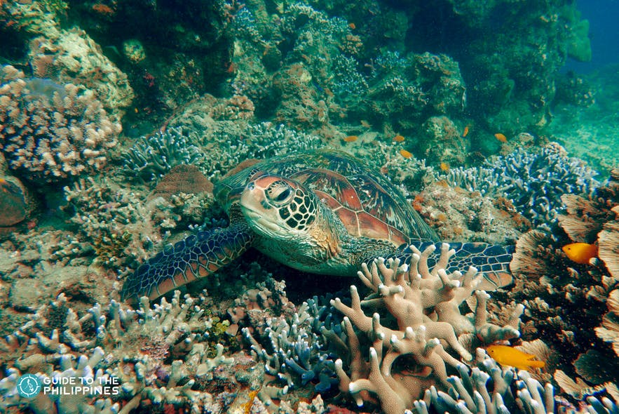 Sea turtle in Marine Sanctuary dive spot in Dumaguete