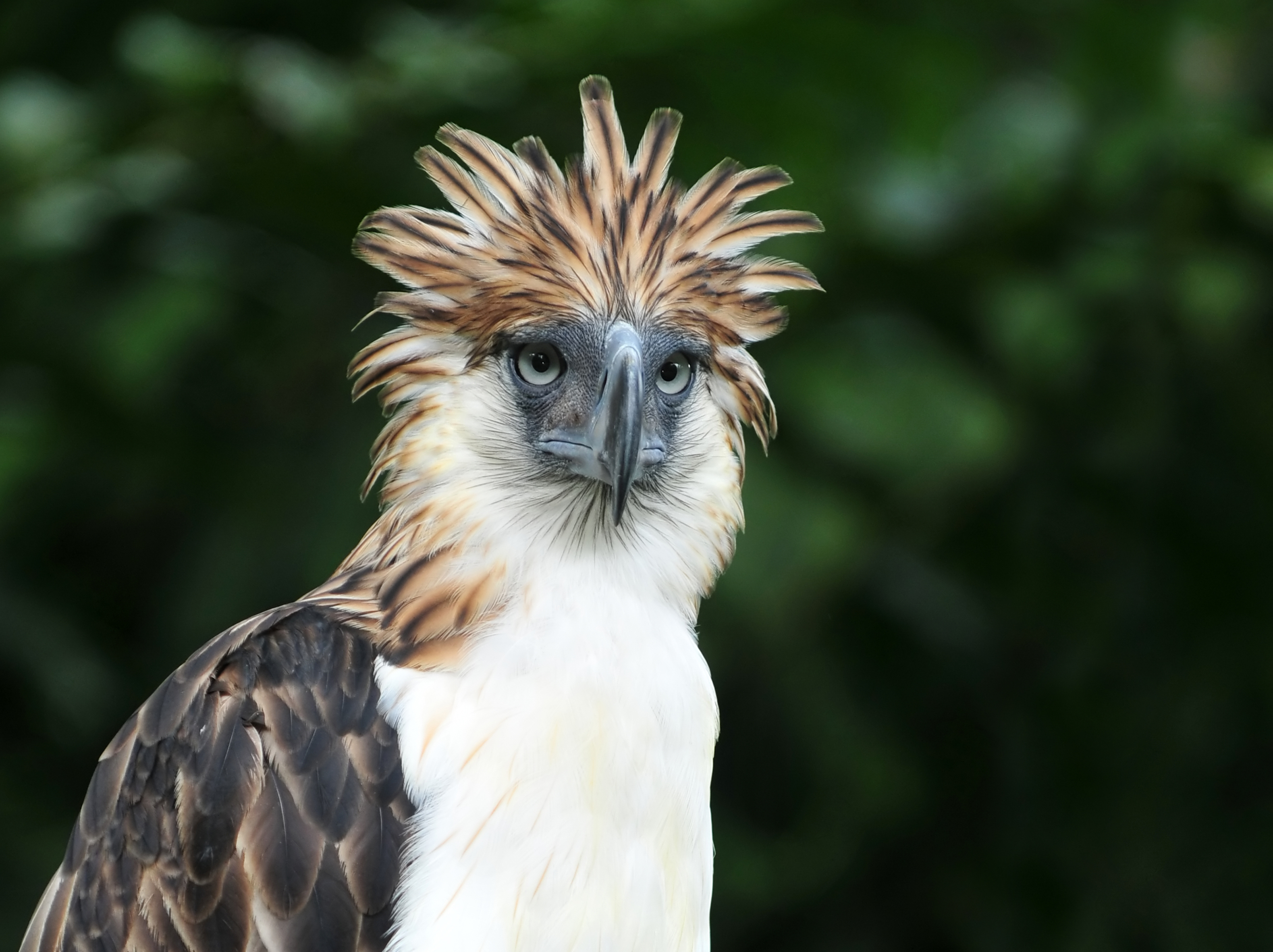 Close up photo of Philippine Eagle in Davao
