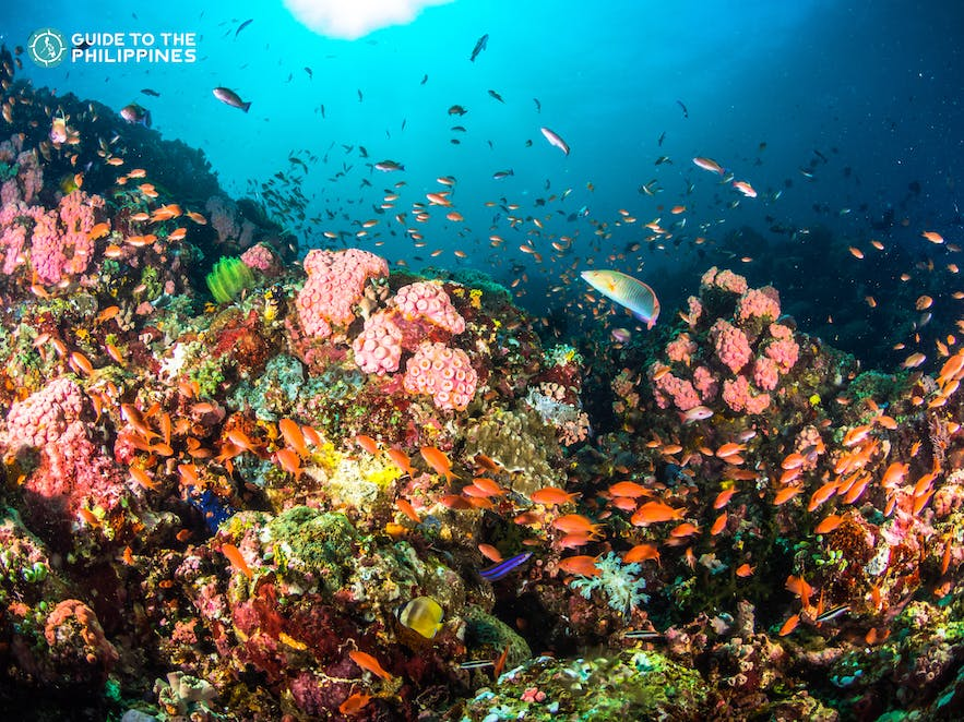 Colorful coral reefs and fishes in Anilao