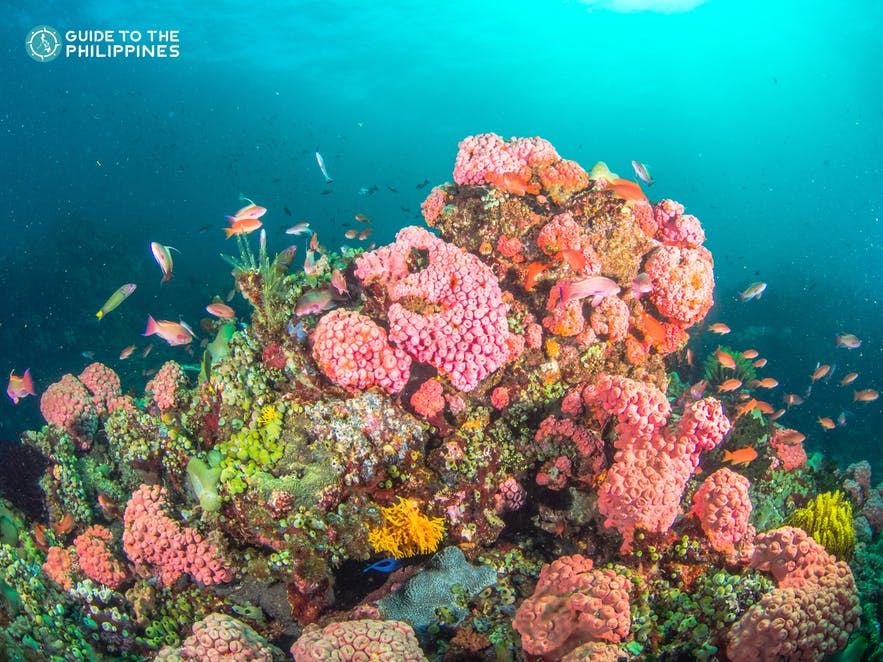 Colorful marine life in a diving spot in Batangas