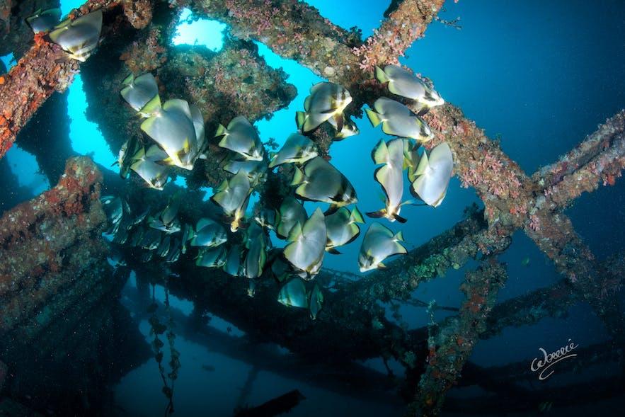 A school of batfish in Daryl Laut