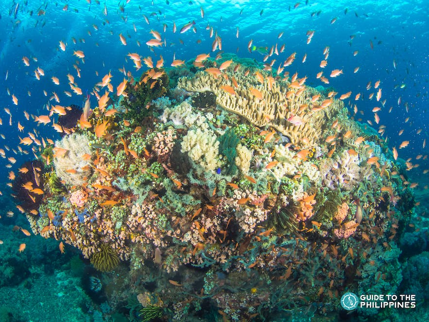 Fusiliers in a coral reef in Anilao