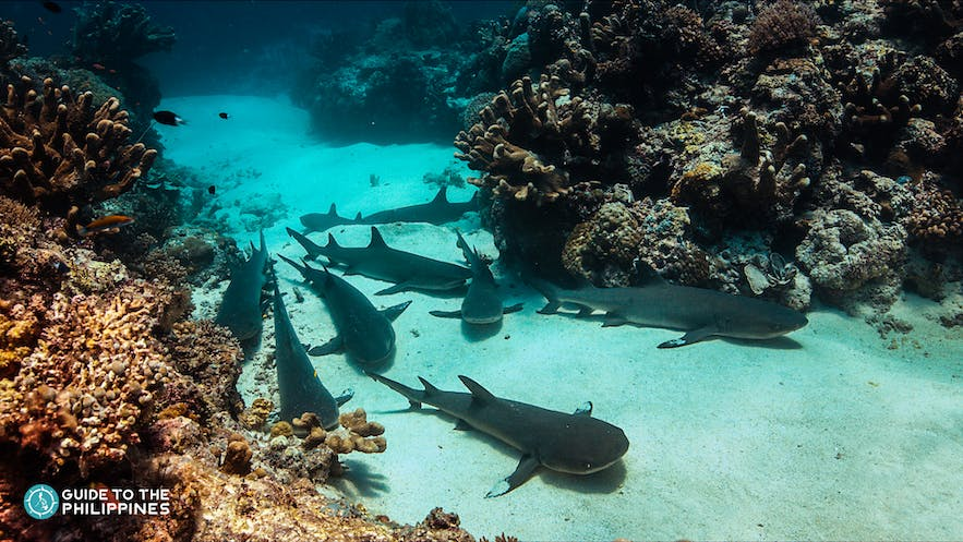 Group of sharks in Shark Airport in Tubbataha Reef