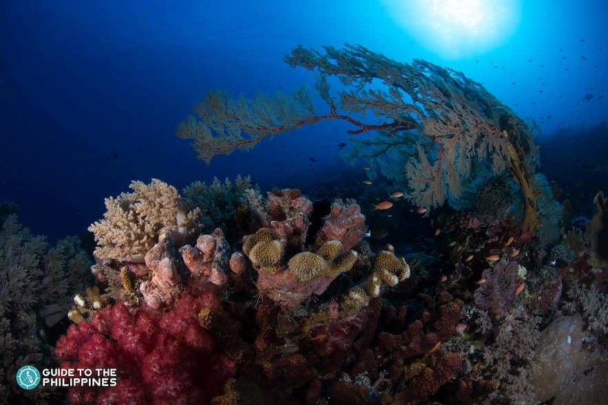 Colorful corals in Jesse Beazley Reef in Tubbataha
