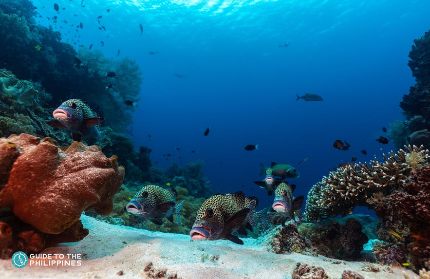 Harlequin sweetlips in Tubbataha Reef