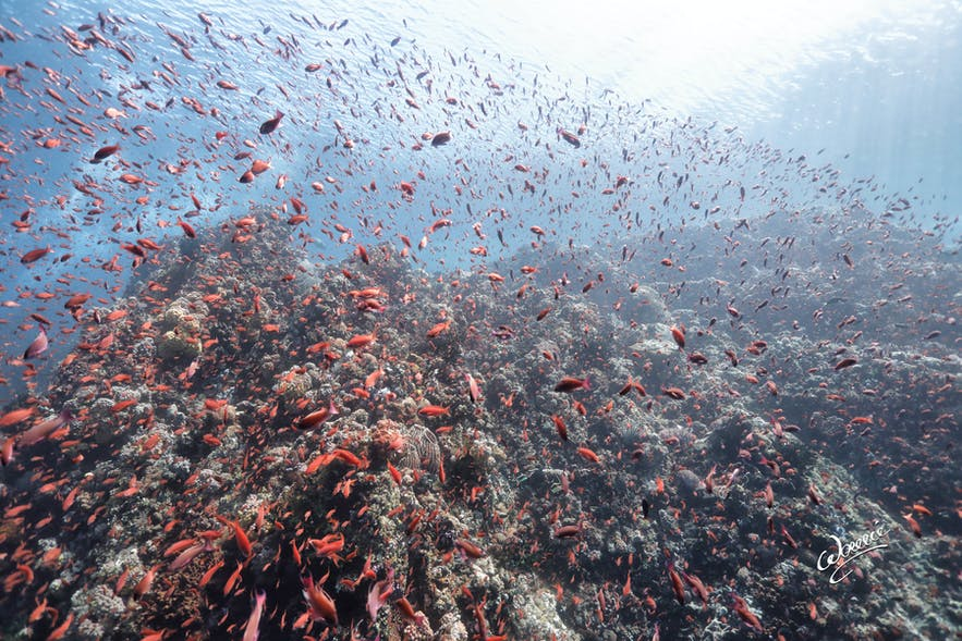 Red fishes swarming over a coral reef in San Agapito Dive Site