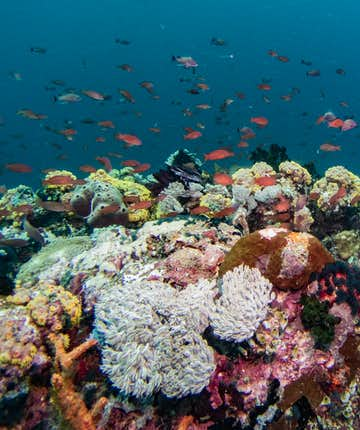 Colorful fishes and coral reefs in Verde Island Passage