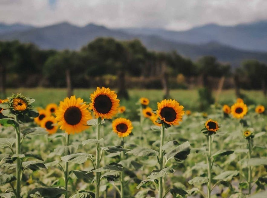 Beautiful sunflowers in Yamang bukid in Palawan
