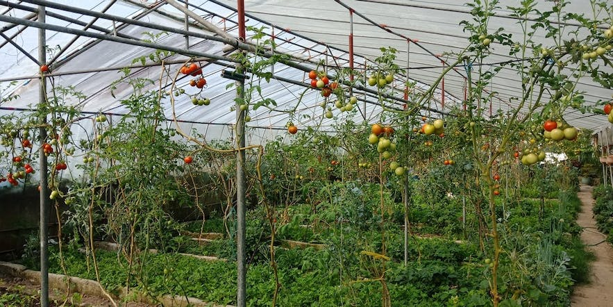 Tomatoes in Cosmic Farm in La Trinidad