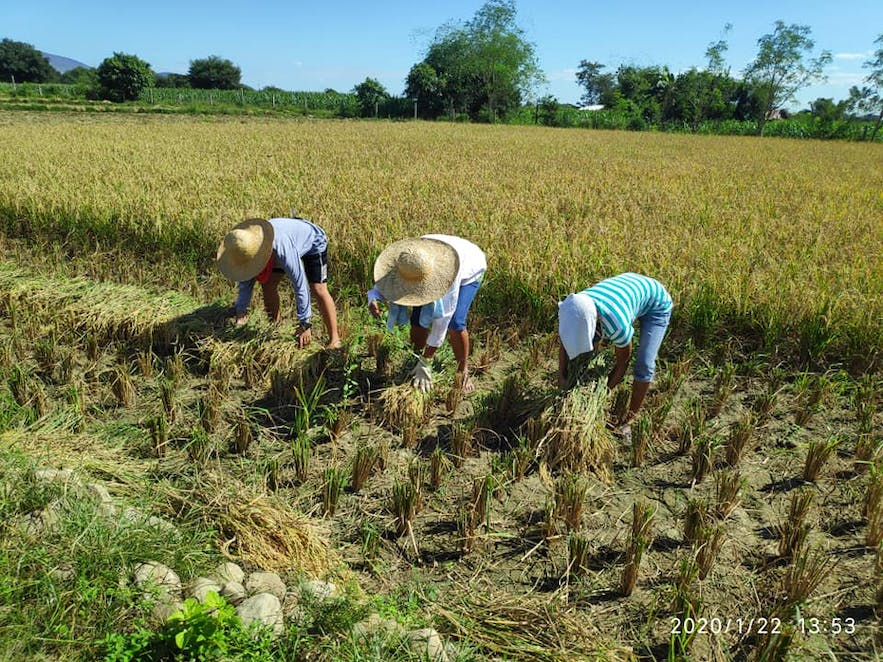 Farmers harvesting in Rocapor Farm