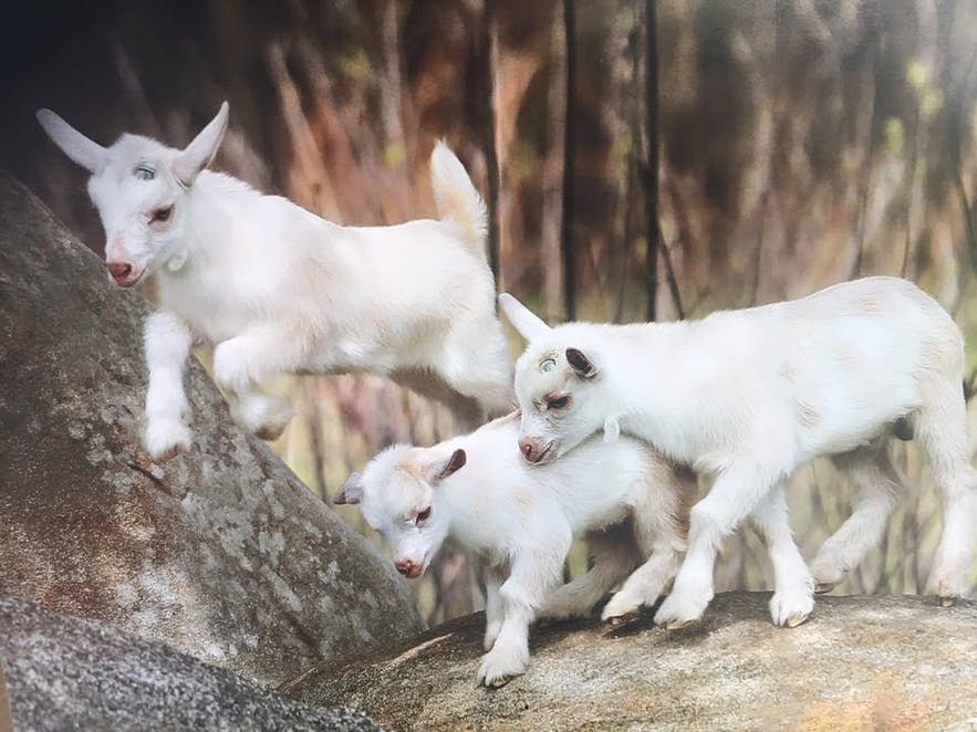 Baby goats in Graco Farms in Laguna