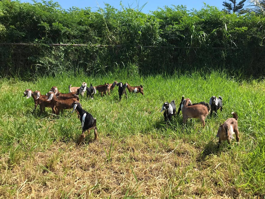 Goats roaming freely in Alaminos Goat Farm in Laguna