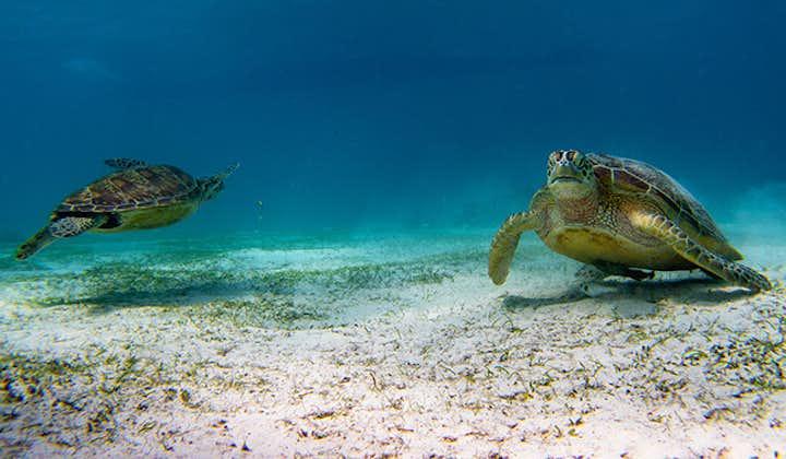 Sea turtles in a snorkelling spot Panglao Bohol