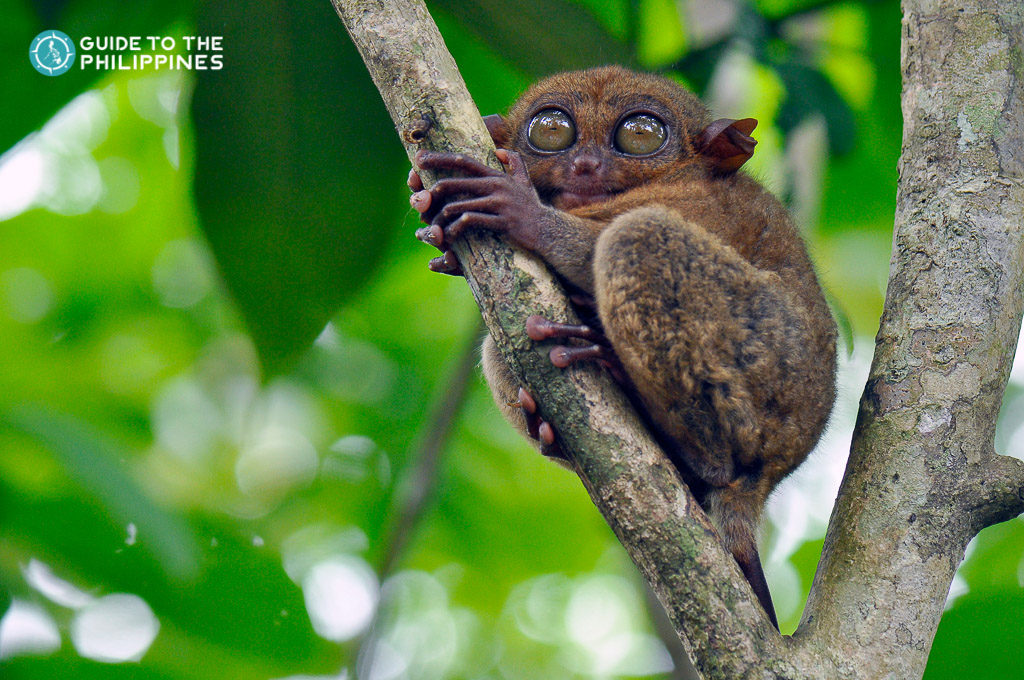 Tarsier at the Conservation Area in Bohol