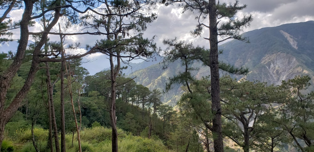 Relaxing view of pine trees from Camp John Hay