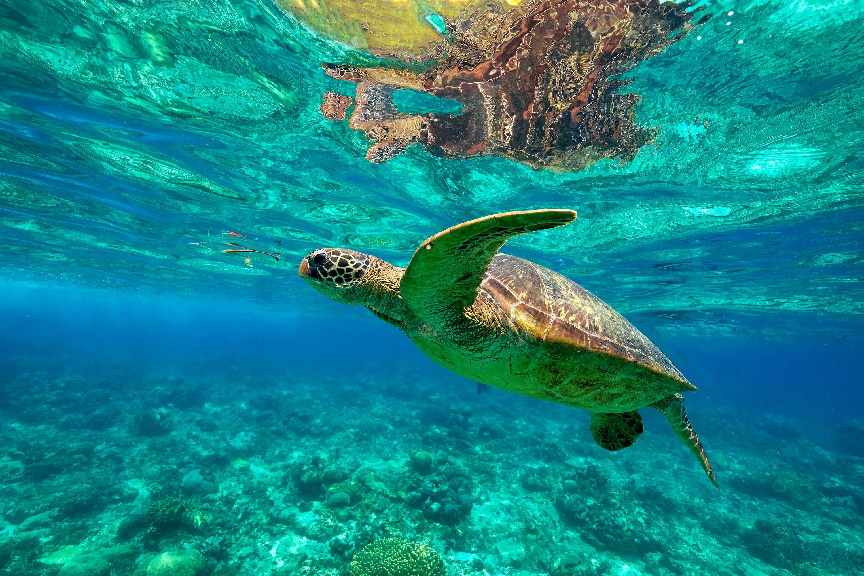 A sea turtle in its habitat in Apo Island