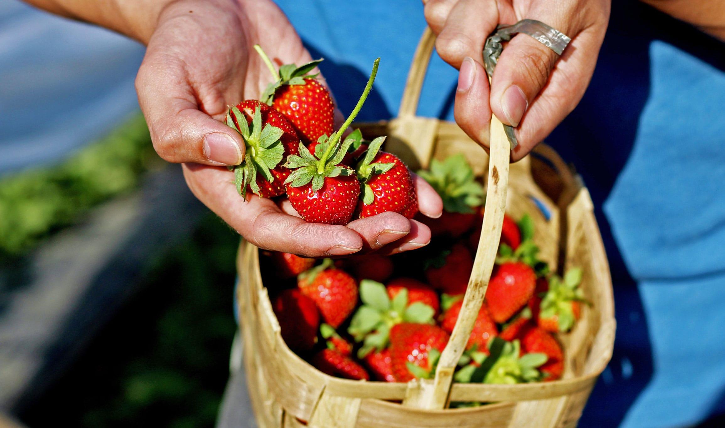 A basket of freshly picked strawberries in Banaue